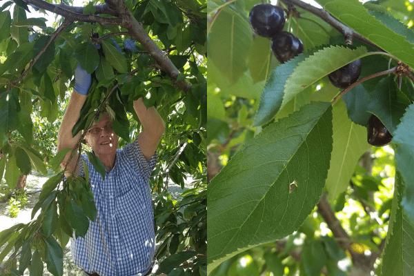 Ken Kovanda volunteers picking cherries for Food Bank of San Benito County