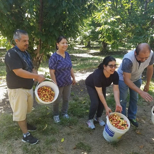 Volunteers from Charles River Labs picking cherries for Food Bank of San Benito County